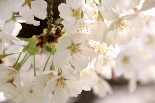 午前と午後、桜見のハシゴしました。<br />今度、月1で写真教室に通うことになったので、早速桜の写真を撮りに出かけてみました。<br />多くの人で賑わう、桜咲く風景。<br />ほんと、日本っていいなぁ(^O^)