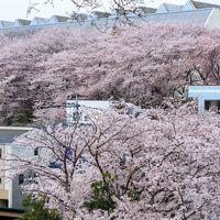 今年の桜散歩は桜散りゆく前に~大和千本桜~