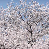 2018 04 京都府NO.1人気の、淀川河川公園背割堤の桜