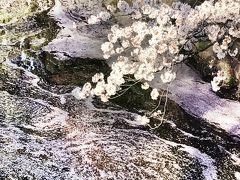春 です!18711歩の東京散歩です!千鳥ヶ淵~国立劇場~小石川後楽園***・:*:・゚
