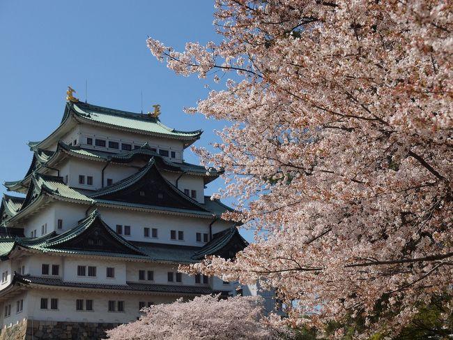 桜満開!名古屋城とピカピカの本丸御殿 多くの人で賑わう名城公園お散歩