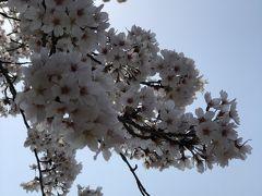 羽村堰の桜祭りに行ってきたよ!