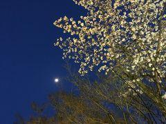 お弁当持って、京都でお花見 桜の下で酔っ払い(*^^*)