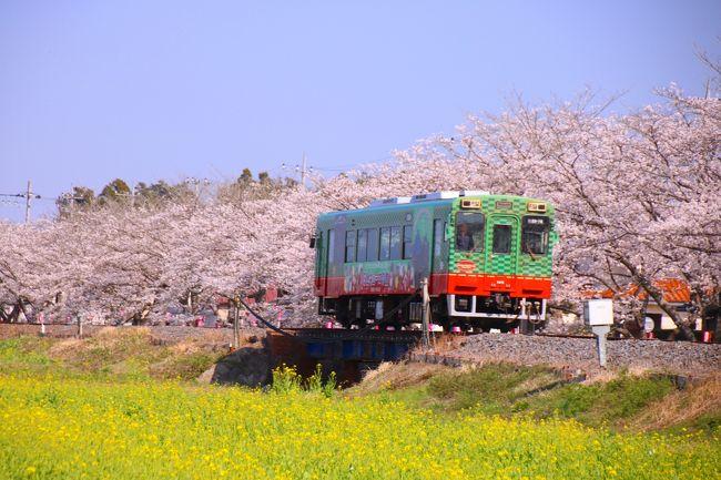 先週は東京の桜の名所を5ヶ所も巡り、満開の桜を堪能したばかり。<br />友人達がSNSに投稿する桜と鉄道の写真に刺激を受け、今週もサクラを求めて出かけてきました。<br /><br />今回は一度撮りに行ってみたいと思っていた真岡鐵道にしました。<br />事前にポイントをネットで写真を見ながらチェックしてみる!<br />絵になるポイントは色々あるけれど、今回はサクラと菜の花のコラボを撮りたかったので、初めての真岡鐵道撮影だから、一番人気のありそうなポイントにすることにしました。<br /><br />撮影ポイントは、北真岡駅と西田井駅の間にある真岡りす村ふれあいの里のすぐ目の前にあります。<br />電車の場合、最寄駅は北真岡駅。