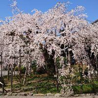 石山、毘沙門堂、醍醐寺、背割り桜、桜巡りの1日