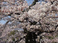 夙川公園へ満開の花見に出かけました 上巻。