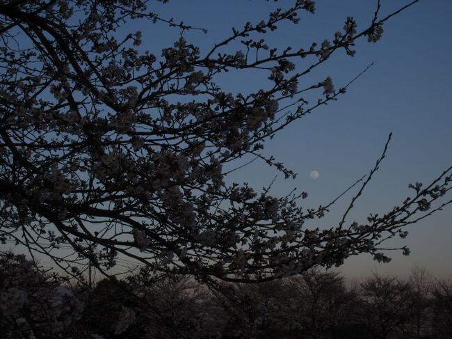 びっくりするくらい 急に咲いた<br />2018年の桜<br />サクラ サクラ
