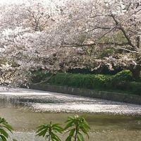 鎌倉鶴岡八幡宮へ桜を見に‼?
