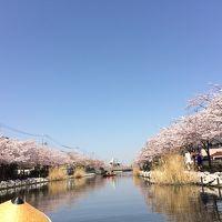 和船に乗り新川千本桜をゆったりと観賞しました