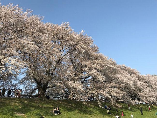 今年のお花見は京都へgo〜<br />最初は京都府八幡市の「背割堤」へ。<br />電車で行くと京阪本線八幡市駅から徒歩10分の場所にあります。さくらまつり期間中は車だと公園や周辺の駐車場が閉鎖されてて、ちょっと離れた駐車場に停めて歩いて行きました。<br />ココは近畿のお花見ランキングで去年1位になったらしく、桜の花の様に人も沢山でした。<br />1.4km続く桜のトンネルは圧巻です。ちょっとした屋台やお店もあって、楽しめますよ!