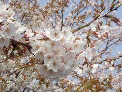 沖島へ桜狩