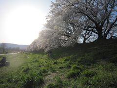 京都・八幡市背割り堤の桜