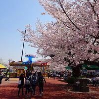 満開の桜を見に、王子動物園へ行きました その1。