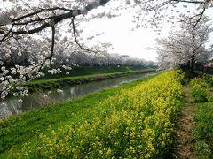 旧久喜市の桜スポットを巡る・・・6-5 青毛堀川畔の桜並木