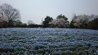孫と一緒に花フェスタ記念公園・・・桜とネモフィラのコラボ
