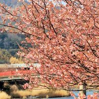河津-1 河津川沿い カワヅザクラ見ごろに ☆開花は例年より遅れぎみで12