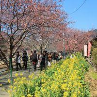 河津-2 河津桜まつり 期間中-菜の花も咲いて ☆平日/昼前でゆったり散歩