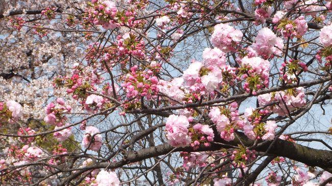 3月29日に奈良の郡山城址と大阪城は満開だった。4日経ってしまった。まだ満開状態が見れたらいいけど。