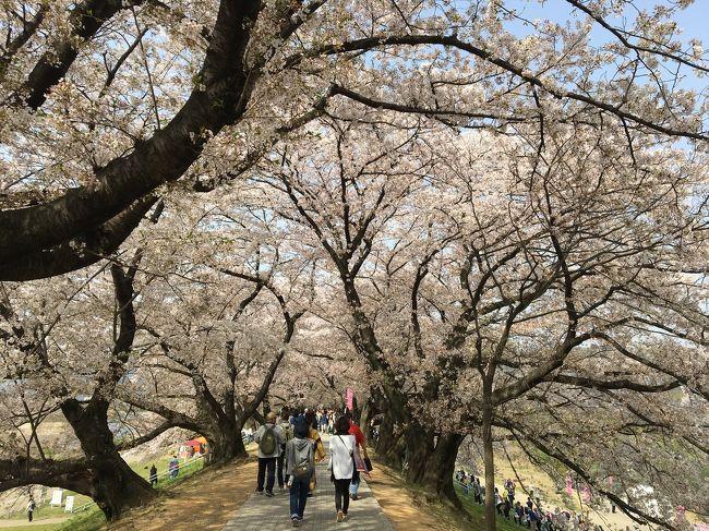桜満開 背割堤の桜並木