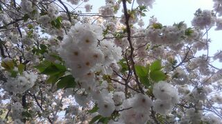 シニアトラベラー バスツアーで楽々都内葉桜満喫の旅!