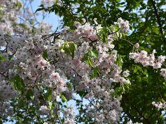 春を彩る井の頭公園と吉祥寺 2018 ~山野草とハーモニカ横丁~(東京)
