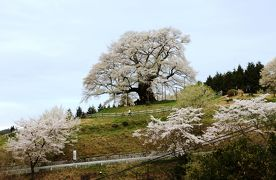 醍醐桜、9度目の逢瀬はギリギリ満開に間に合いました。