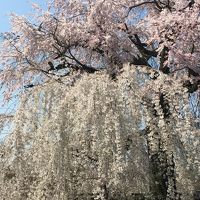 桜満開の京都 母娘3世代で楽しむ女子旅