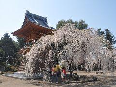 慈眼寺のしだれ桜と群馬の森
