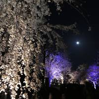 桜満開!!春の京都2018