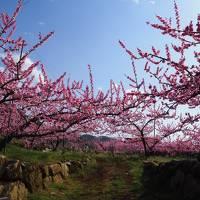 山々と桃の花の絨毯 美しき桃源郷めぐり 新府&笛吹 2018