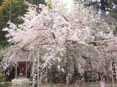そうだ京都の桜、見に行ってなかった!おけいはんpremiumカーで行こう!平野神社。