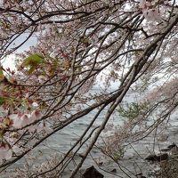 電車とバスで琵琶湖一周桜旅1泊2日〜名残の花編
