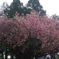 都内の桜いろいろ