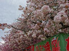 立川、国立 桜並木は終わっているけれど…駅からハイキング