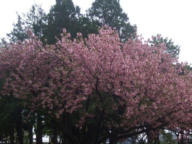 近場で行ったところの桜を撮ってみました。<br />何日にも分けて撮ったので、3月と4月になってます。<br /><br />表紙は青山公園@六本木の八重桜です。4月7日撮影<br /><br />作成中