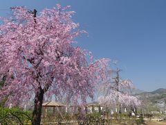 あしかがフラワーパークのサクラ_2018_桜以外にも春の花が綺麗に咲いています。(栃木県・足利市)