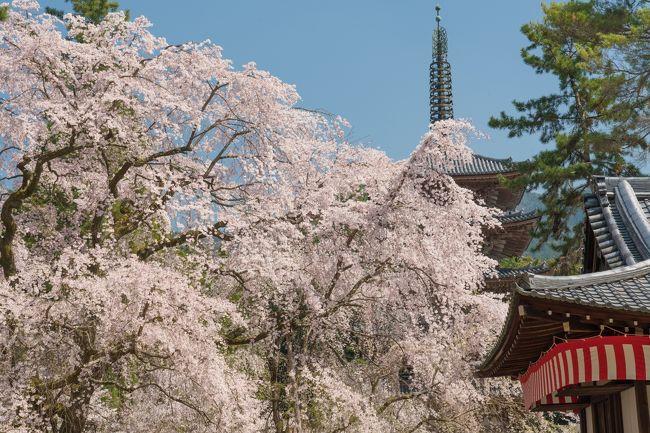 3月28日、満開の桜です。午後、日差しとしては最高の時に訪れました。<br />一時は衰えていた桜が、勢いを盛り返し、五重塔を隠してしまう勢い。