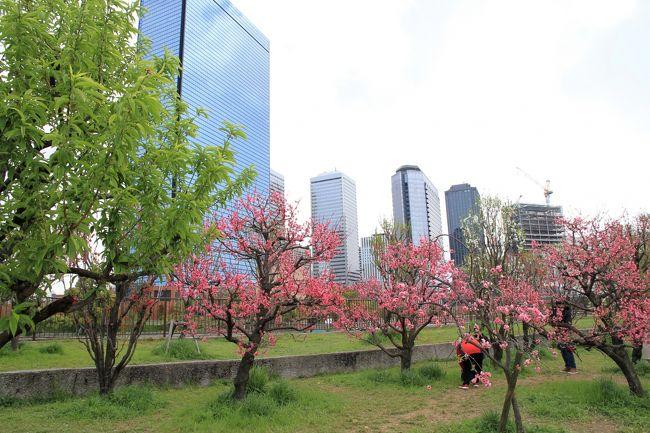 大阪城公園<br />公園の北端にある「桃園」の桃の花鑑賞に行ってきました。<br />12種類約200本の桃の木が植栽されています。遅咲きの菊桃が見ごろでした。<br />桜は、ソメイヨシノはもう散っていましたが、牡丹桜は綺麗に咲いていました。<br />