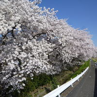 浅川土手・元横山公園の桜 2018/03/30