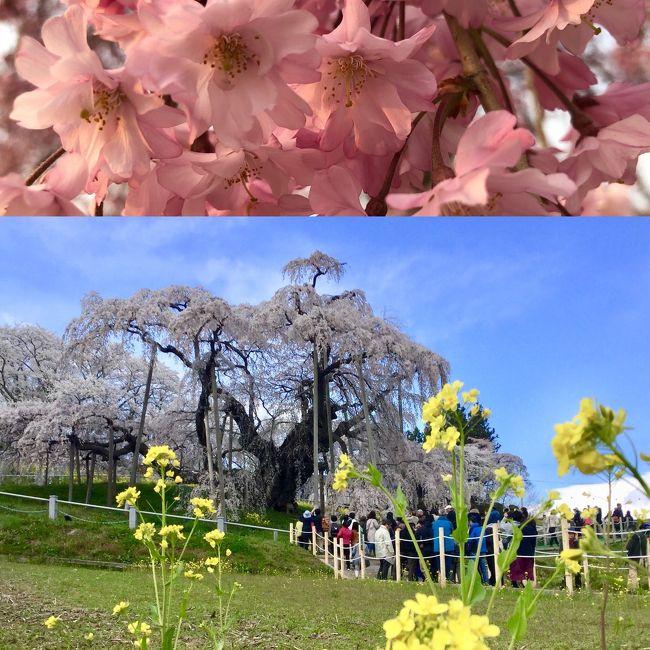 思い立って滝桜へ<br /><br />3日前に満開宣言が出されたけど、気温がずーっと低いから、桜吹雪にまにあうかな~~? と、朝、起きてから突然決めた三春行き!<br /><br /> けっきょくは、裏磐梯も行ったので、冬と春の境目、桜前線をウロウロ出たり入ったりの、季節感バリバリのドライブになりました!