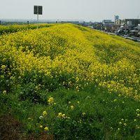 三郷(菜の花)~飛鳥山公園(桜)~とげぬき地蔵~赤羽(せんべろ)