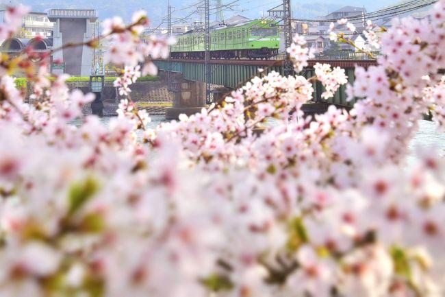 JR奈良線に未だ現役で運用されている緑色の国鉄型車両103系と、満開な桜が咲き広がる風景を探しに、京都~宇治の間を散策してみました。