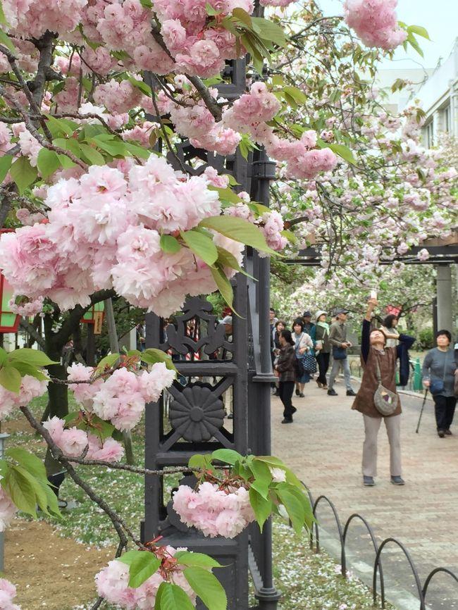 たまたま大阪滞在の日が造幣局桜の通り抜け初日だった。<br /><br />ホテルは天満橋だし行くしかあるまいということで出かけてみた。<br /><br />10:00開門前からすごい人だ。中国人の団体客もかなり多かった。