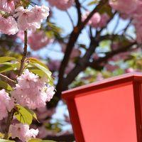 今年も桜を見に造幣局に行きました・・ついでに梅田スカイビルに!