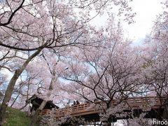 高遠城址さくら祭り 2018: 「天下第一の桜」満開!