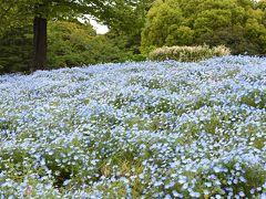 ネモフィラ・チューリップ 春の花咲く昭和記念公園