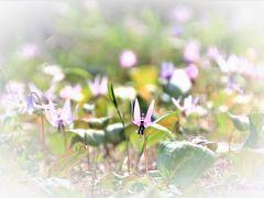 東京で出会った「春の妖精」~練馬でタカクリの花が見られるなんて~