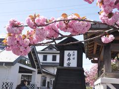 上野国・白井宿の八重桜