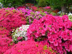桜のあとは色鮮やかなつつじを愛でる 根津神社の文京つつじまつり