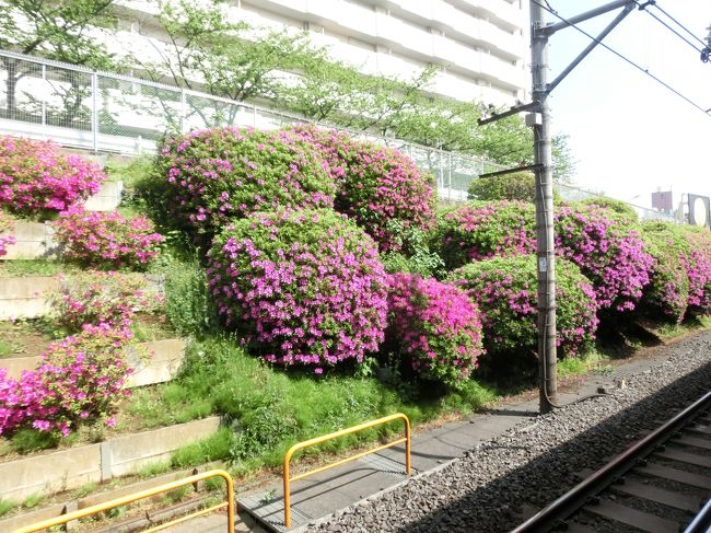 花粉が終わりすっかり葉桜になった今、ようやく外に出ました。桜が終わってから桜の名所に出かけるなんて変ですが、花粉症の私にとって桜の時期の外出はタブーなのです。お花見とは縁のない私です。<br />谷中、雑司ヶ谷、青山と続いた東京の霊園巡り、今日の染井霊園でおわりです。四大霊園のなかで一番小さく、一日で著名人の墓を掃くことが出来ました。<br />今桜と言えばソメイヨシノをさすことが多いようですが、ソメイヨシノは駒込の植木職人により作出されたと云われます。駒込、染井の地には昔から多くの植木職人がいて楓、つつじ、椿、桜などの植木栽培が盛んでした。其の中でオオシマザクラとエドヒガンの交配種であるソメイヨシノが生まれました。<br />では桜の花の終わった桜の里歩き、出発です。<br /><br />写真は山手線駒込駅ホームのつつじ。
